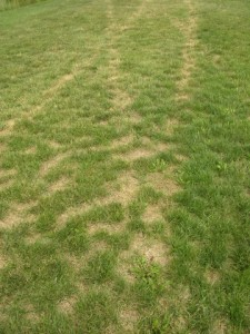 Mower tracks on drought stressed turf