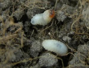 bluegrass billbug larvae