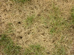 Holes in turf from starlings feeding on leatherjackets
