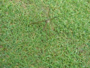 Adult female crane fly laying eggs on a green