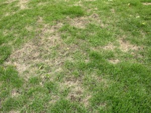 bluegrass billbug damage