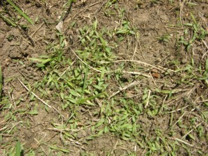 Crabgass seedlings in a thin turf area