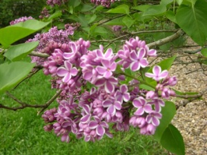Early bloom of lilac