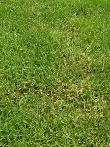 Thinned Kentucky bluegrass turf showing the melting out phase of leaf spot
