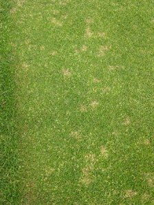 Dollar spot symptoms on the edge of a green