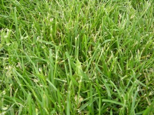 Stemmy Kentucky bluegrass with bleached appearance
