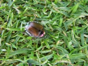 Metallic bronze Japanese beetle adult