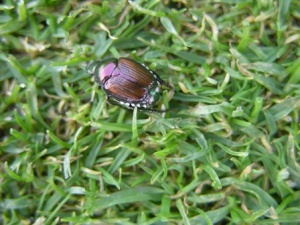Japanese beetle adult on a closely mown turf