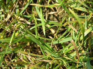 Close up of rust pustules on turf leaves