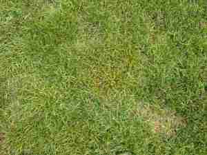A clump of perennial ryegrass infected with rust