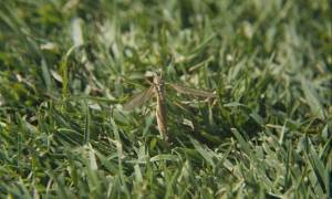 adult crane fly on turf