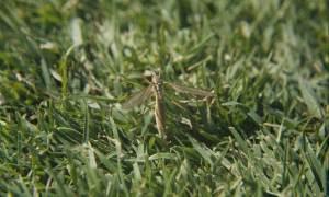 adult crane fly on turf