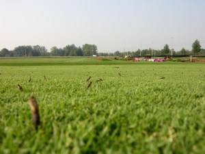 pupal casings on closely mown turf