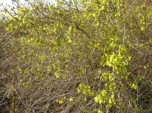 Early bloom of forsythia