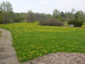 Dandelions in full bloom