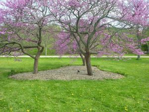 Full bloom of Eastern redbud