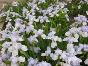 Early bloom of iris