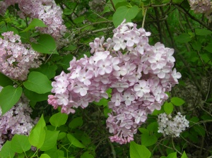 Full bloom of lilac