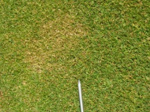 early annual bluegrass weevil damage