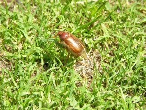 adult European chafer on golf green