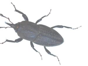 resized billbug