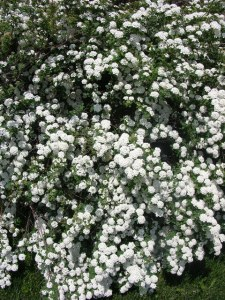 Bridal wreath spirea in full bloom