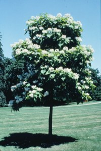 Catalpa tree in full bloom