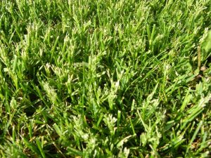 Close up of mowed Kentucky bluegrass seedheads