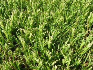 Close up of mowed Kentucky bluegrass seedheads