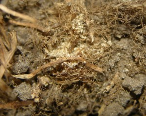 Sawdust like billbug excrement in thatch