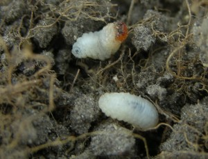 close up of white bluegrass billbug larvae with brown heads