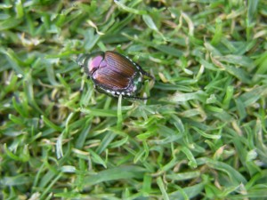 shiny metallic Japanese beetle on close cut turf