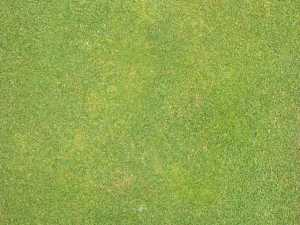spots of yellow to tan annual bluegrass damaged by annual bluegrass weevil feeding