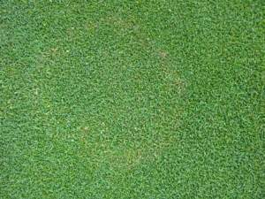 Brown patch symptoms - light yellow ring - on creeping bentgrass green