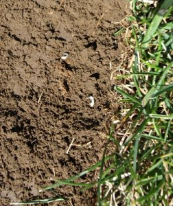 small white grubs on soil under sod