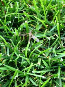 adult crane fly (large mosquito like fly) resting in turf