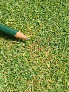 small patches of yellow to orange discoloured turf on a putting green