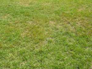 Rust symptoms on a soccer field with brown grass and dead leaf blades