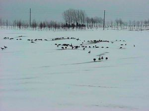 Geese on Snow